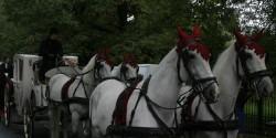 Лошади и свадебная карета