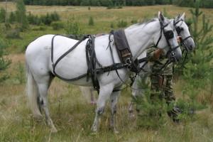 Пара лошадей в хомутах перед съемками